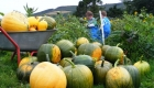 pumpkin_harvest